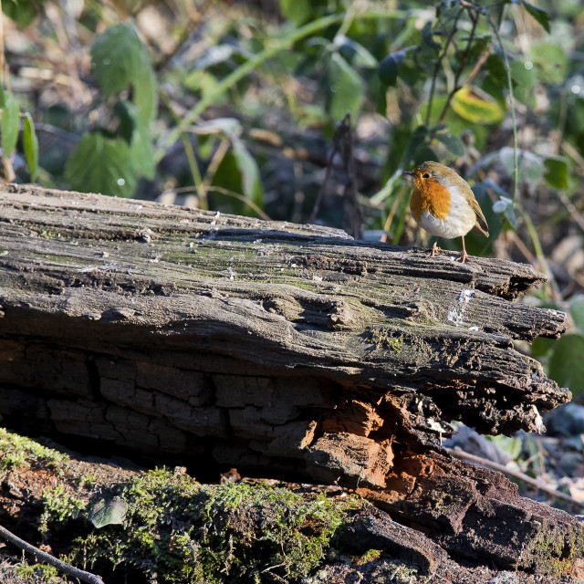 """Robin on frosty log"" stock image"