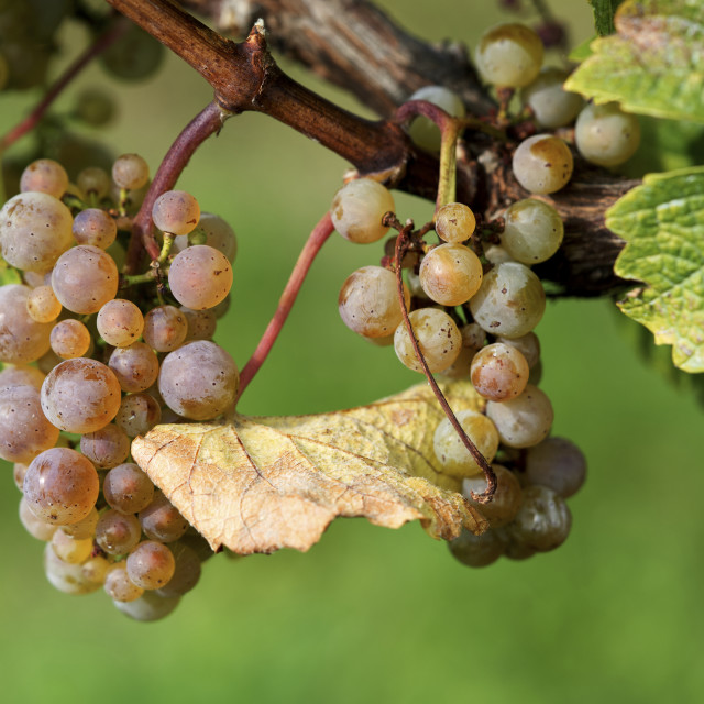 """Grapes And Leaves"" stock image"