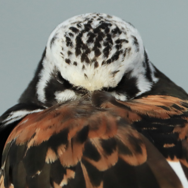 """""""Ruddy Turnstone, Arenaria interpres, in Hampshire in late summer. Adult summer plumage close up"""" stock image"""