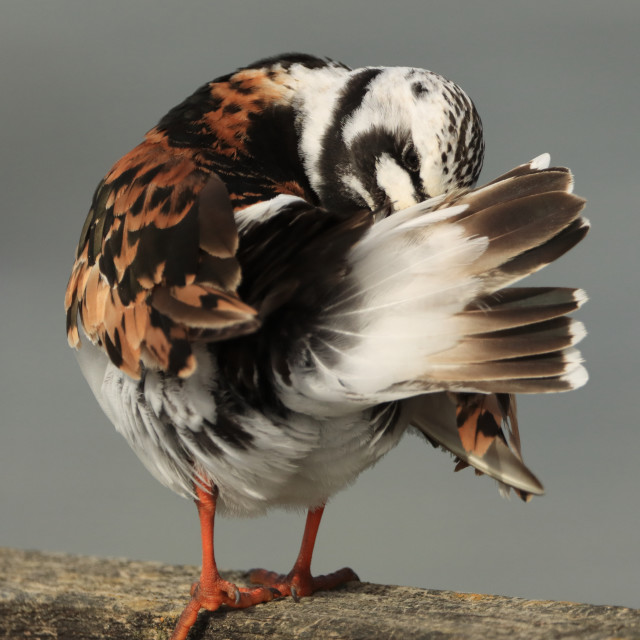 """Ruddy Turnstone, Arenaria interpres, in Hampshire in late summer. Adult summer plumage preening"" stock image"