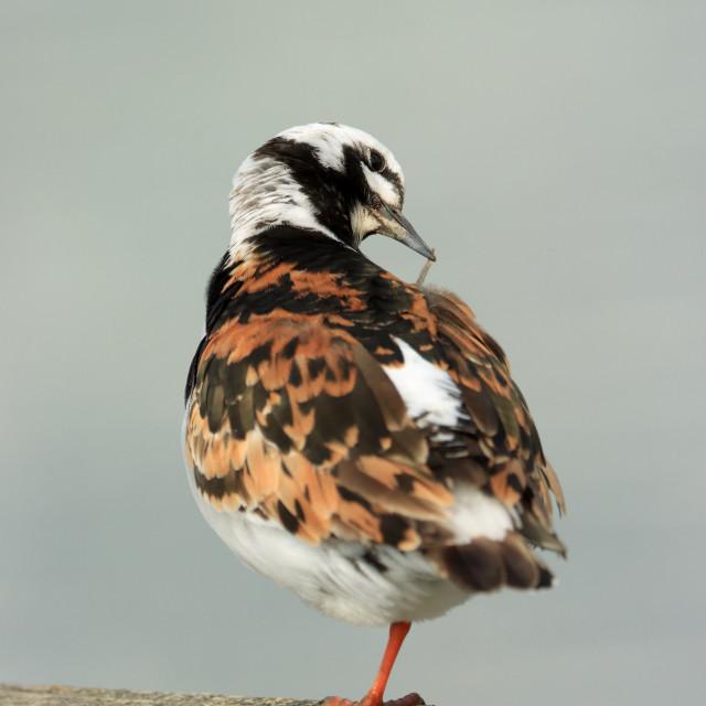 """Ruddy Turnstone, Arenaria interpres, in Hampshire in late summer. Adult summer plumage"" stock image"