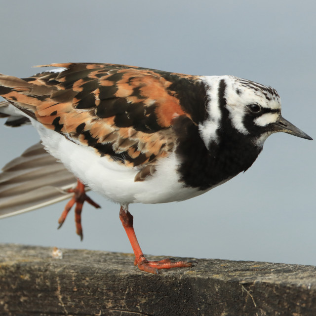 """Ruddy Turnstone, Arenaria interpres, in Hampshire in late summer."" stock image"