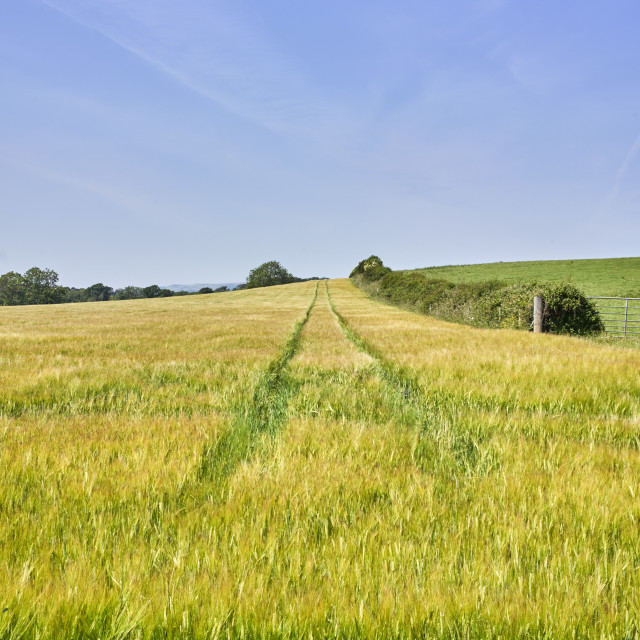 """""""Field of barley growing with tractor tracks"""" stock image"""