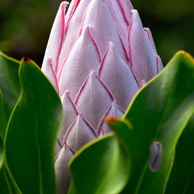 """King protea flower bud"" stock image"