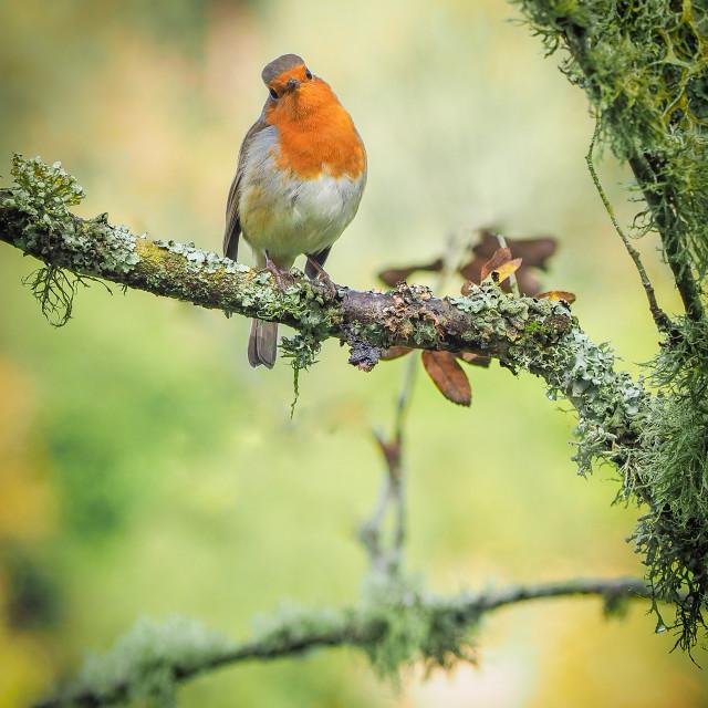 """""""Little Robin Redbrest"""" stock image"""