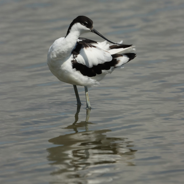 """Adult Pied avocet, Recurvirostra avosetta, in Hampshire United Kingdom in late summer."" stock image"