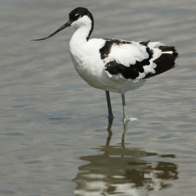 """Adult Pied avocet, Recurvirostra avosetta, in Hampshire United Kingdom in late summer."" stock image"