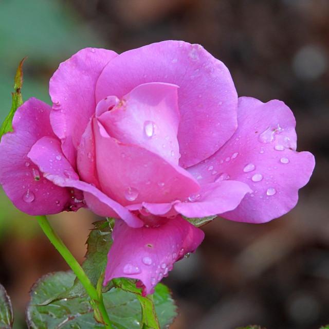 """Lavender Rain-Kissed Rose"" stock image"