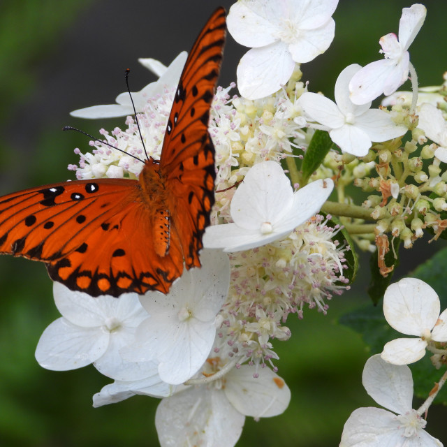 """""""Butterfly on White Flower"""" stock image"""
