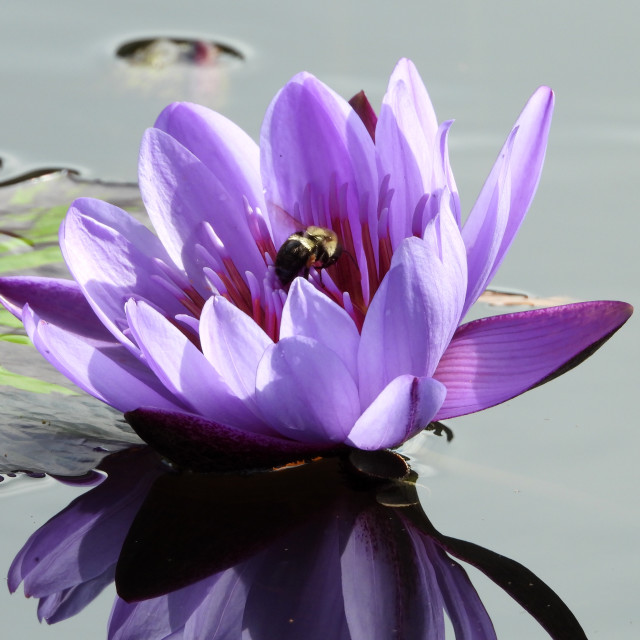 """""""Purple Waterlily with Bee"""" stock image"""