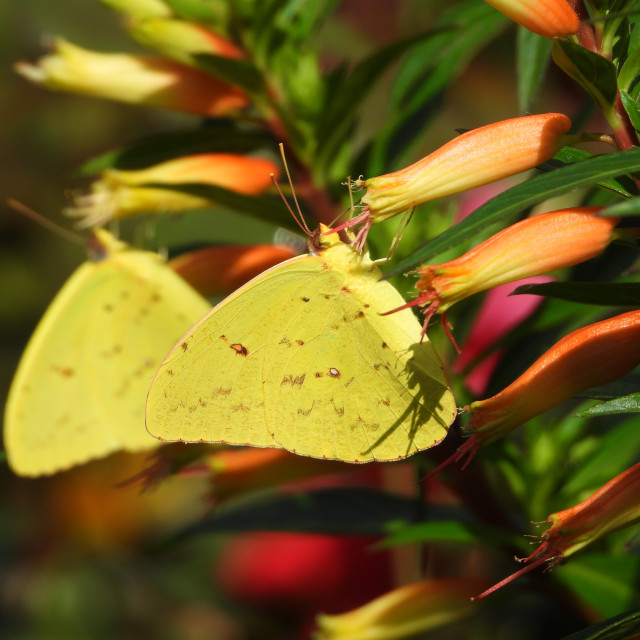 """""""Double Clouded Yellow Butterflies"""" stock image"""