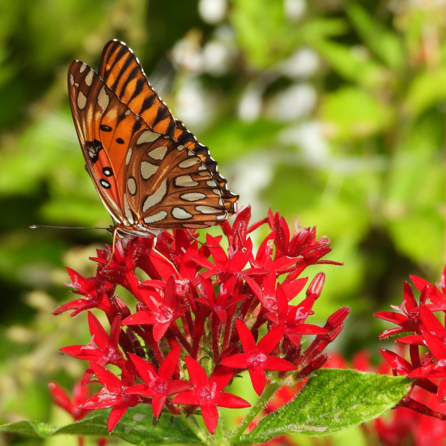 """""""Butterfly on Red Flowers"""" stock image"""