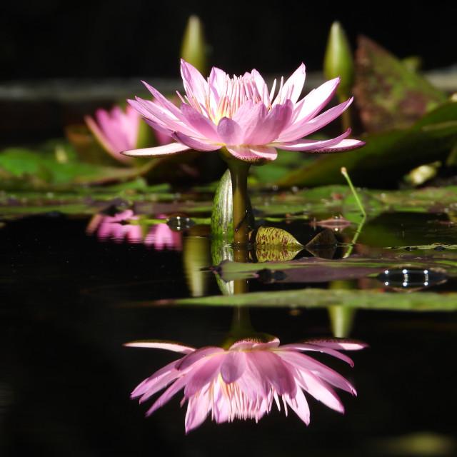 """Reflected Lotus"" stock image"