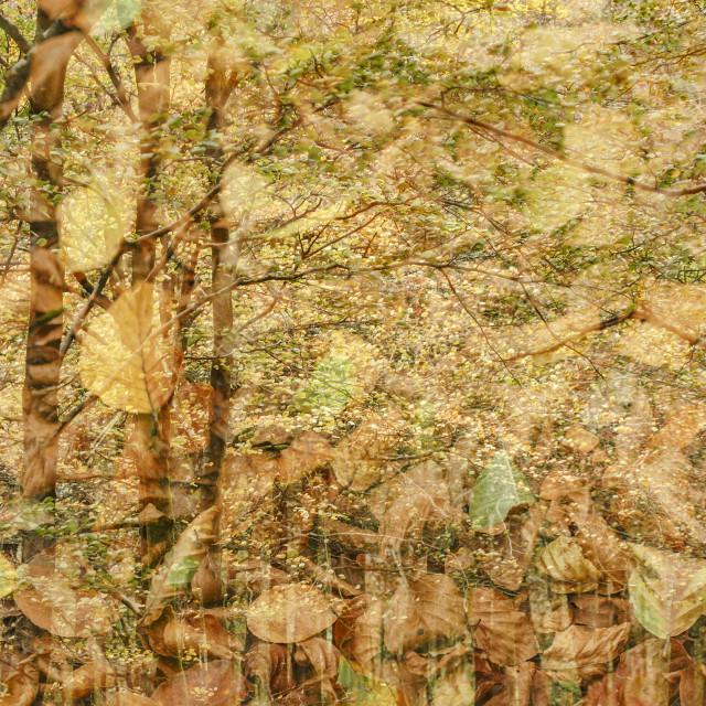 """Autumn Beech Woodland"" stock image"