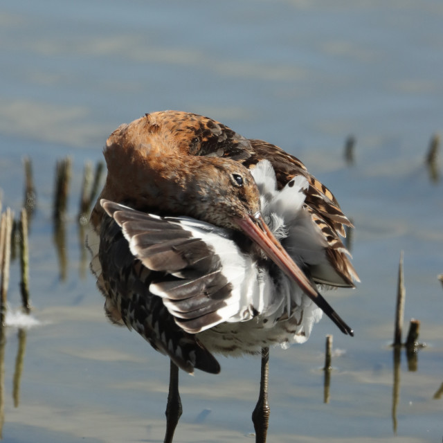 """Black-tailed godwit, Limosa limosa islandica, in Hampshire United Kingdom in late summer."" stock image"
