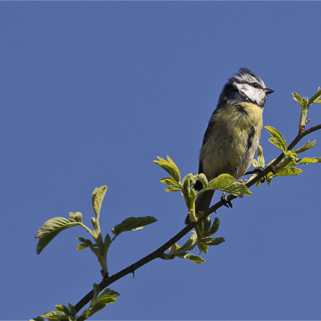 """Blue Tit against Blue Sky"" stock image"