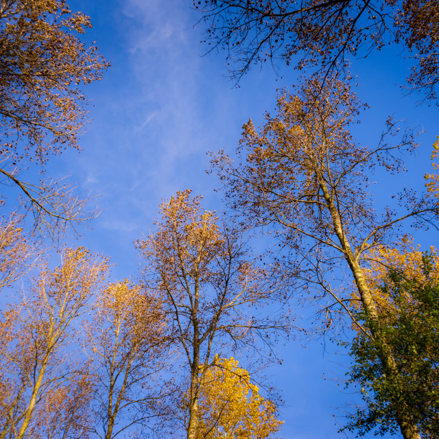"""Sky-high golden trees"" stock image"