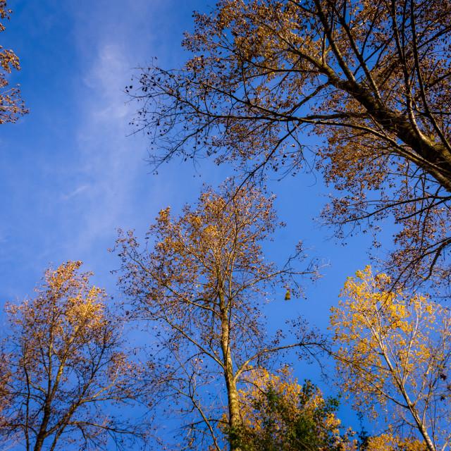 """""""Sky-high imposing tree"""" stock image"""