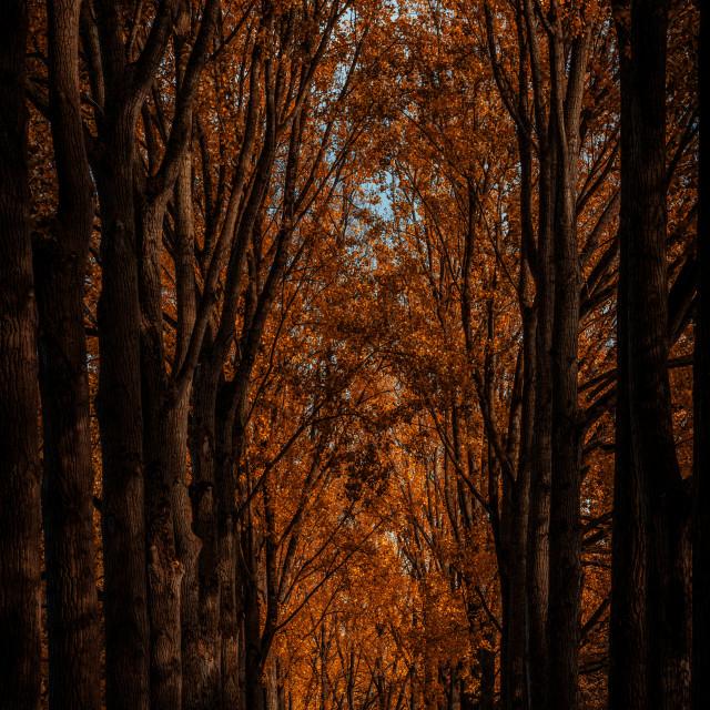 """""""Orange treetops"""" stock image"""
