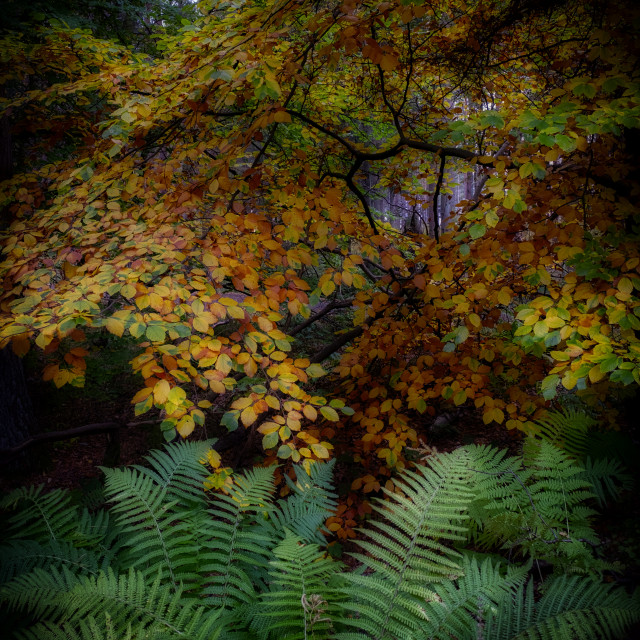 """Lovely Autumn colours in Devilla Forest"" stock image"