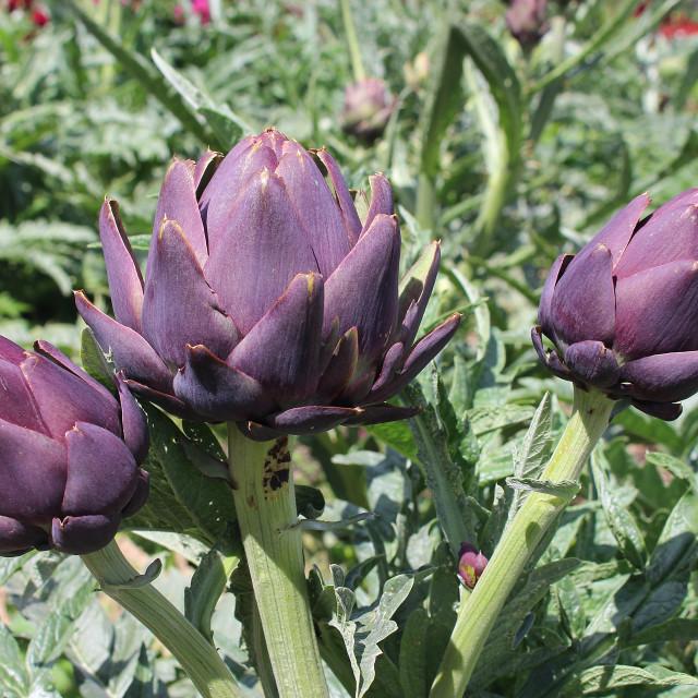 """""""Globe Artichokes (Purple De Provence)"""" stock image"""
