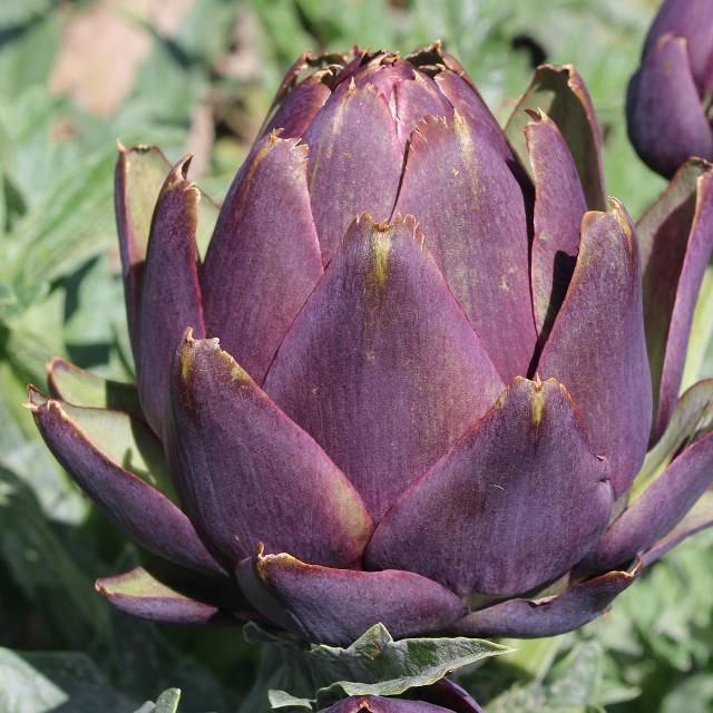 """Globe Artichoke (Purple De Provence)"" stock image"