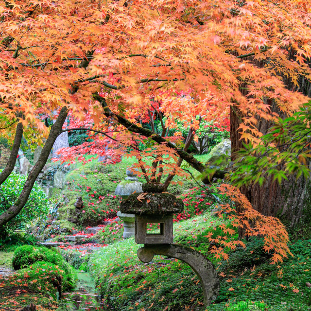 """Japanese Acer"" stock image"