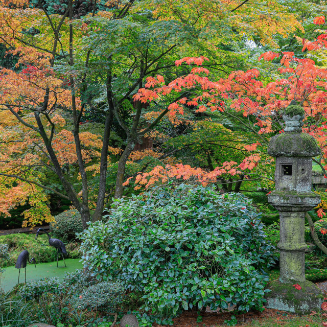 """Japanese acers in autumn colour"" stock image"