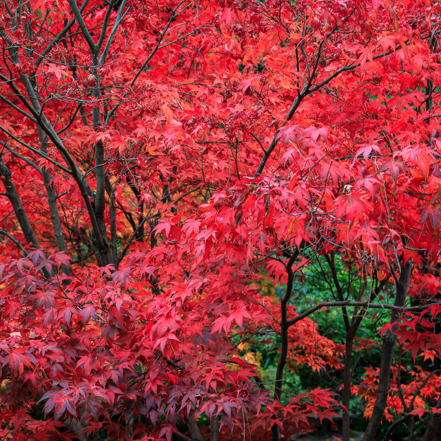 """The red acers of autumn"" stock image"