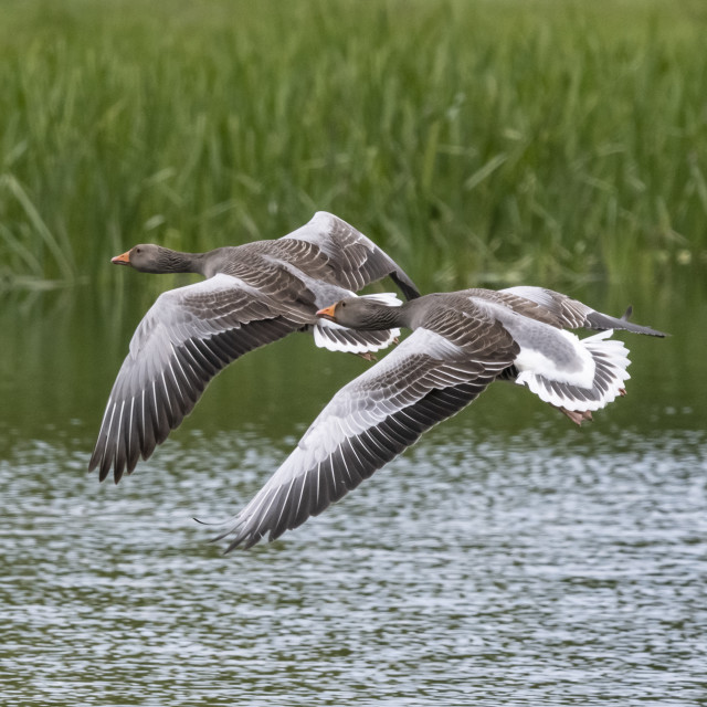 """Geese in flight."" stock image"