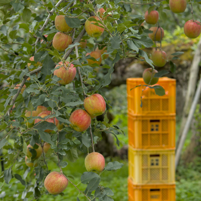 """apple orchard"" stock image"