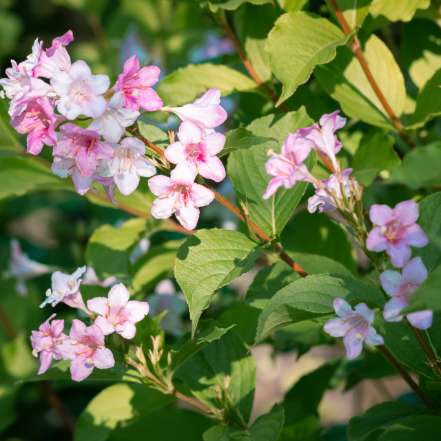 """Pink Weigela Florida"" stock image"