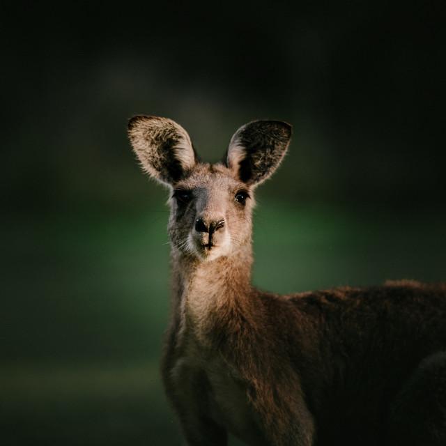 """Kangaroo Way 0301"" stock image"