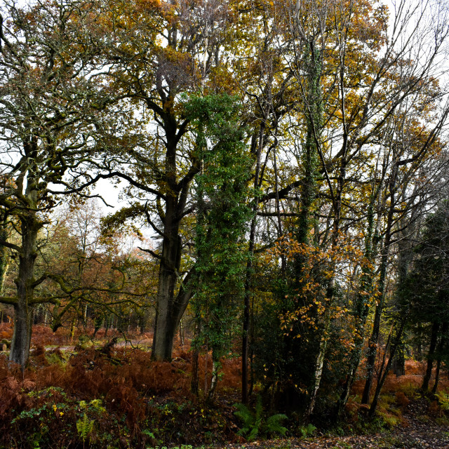 """Woodland Autumn Colour"" stock image"