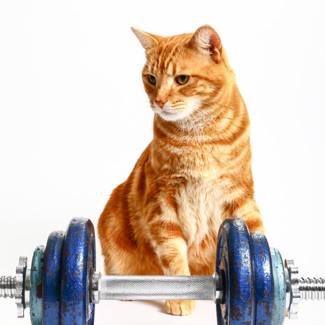 """Ginger tabby cat sat behind cast iron dumbbells conceptual workout image"" stock image"