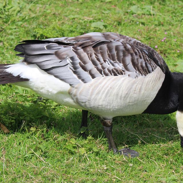 """Barnacle Goose"" stock image"