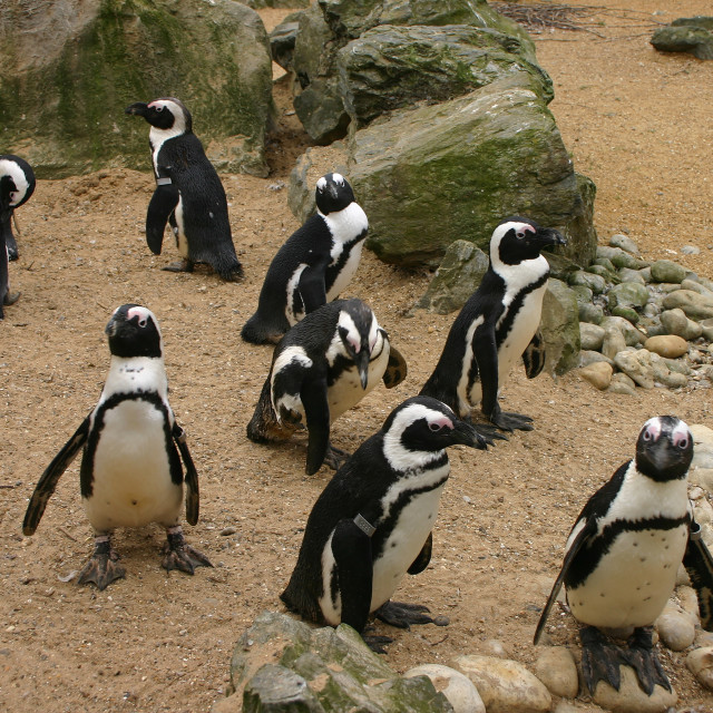 """""""Black footed Penguins"""" stock image"""