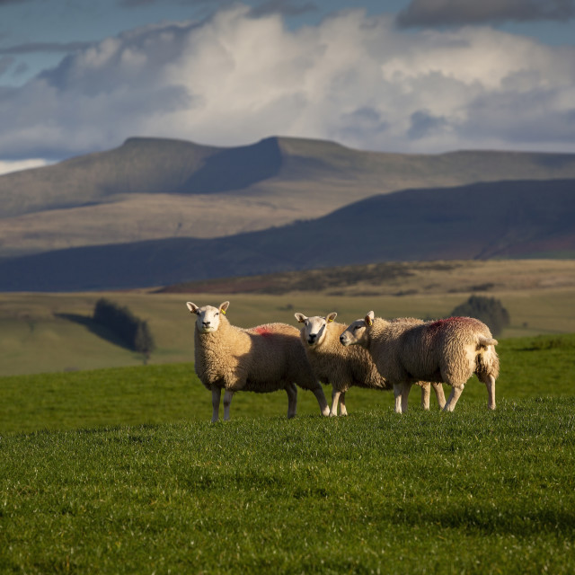 """""""Sheep on the Brecon Beacons"""" stock image"""