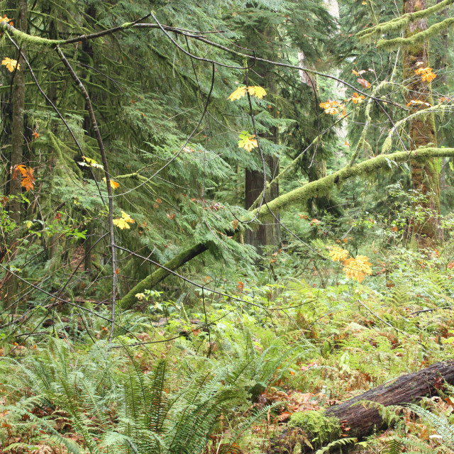 """""""Trees in the Elk Falls Provincial Park near Campbell River."""" stock image"""