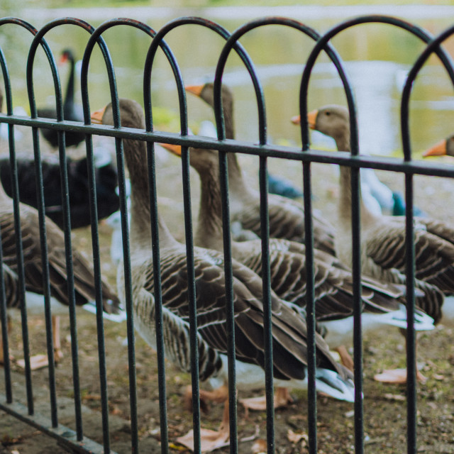 """""""Duck at St Jame's Park - London (2)"""" stock image"""