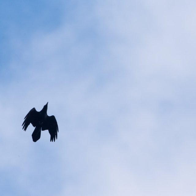 """""""Isolated raven in flight with open wings"""" stock image"""