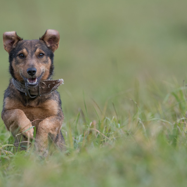 """""""Isolated small dog running over a meadow"""" stock image"""