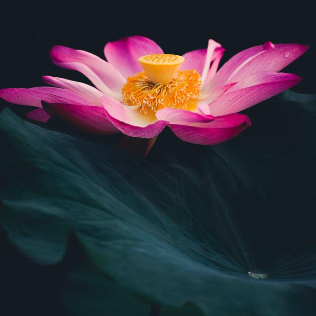 """lotus flower"" stock image"