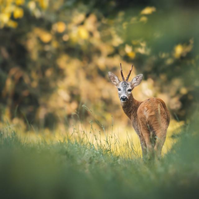 """""""Roe deer in woods"""" stock image"""