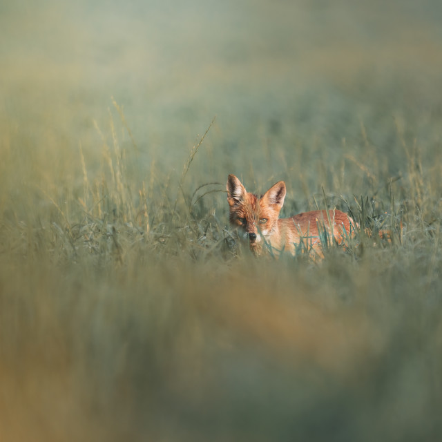 """""""Red fox in the grass"""" stock image"""