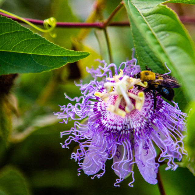 """Purple Bee Balm Flower with a Bee on it"" stock image"