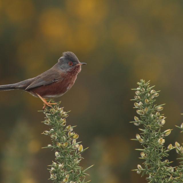 """Dartford warbler, Sylvia undata, in Hampshire United Kingdom male in spring."" stock image"
