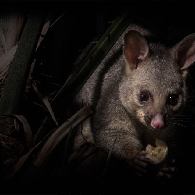 """""""Possum of the night"""" stock image"""