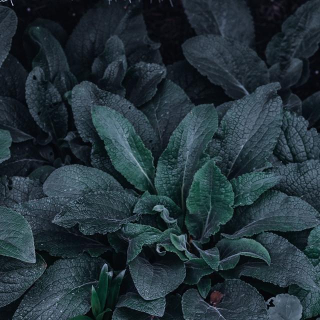 """Silky looking leaves"" stock image"