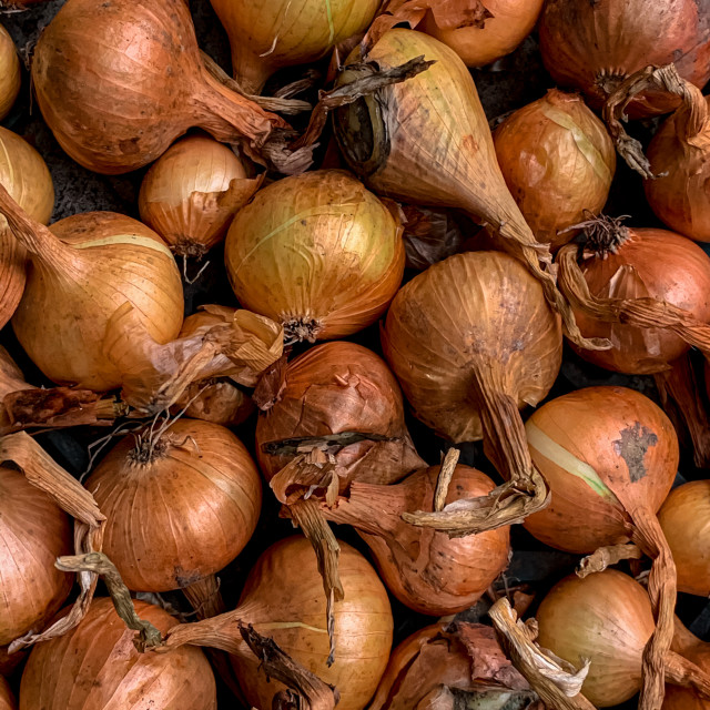 """""""Closeup of Onions freshly picked up"""" stock image"""